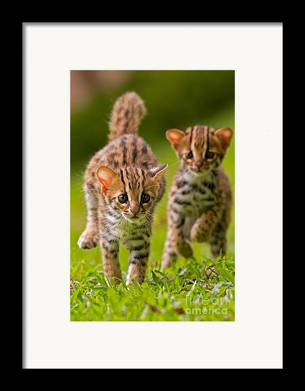 Adorable Framed Print featuring the photograph Leopard Stampede by Ashley Vincent
