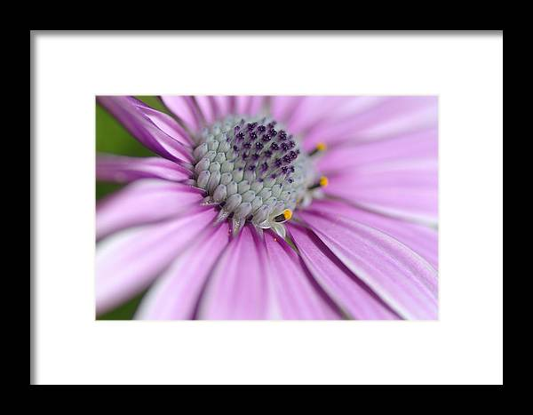 African Daisy Framed Print featuring the photograph Letting Go by Fraida Gutovich