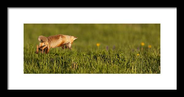 Fox Framed Print featuring the photograph Lift Off by Kevin Dietrich