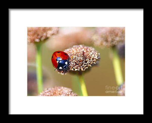 Ladybug Framed Print featuring the photograph Lil Ladybug 2 by Sharon Talson