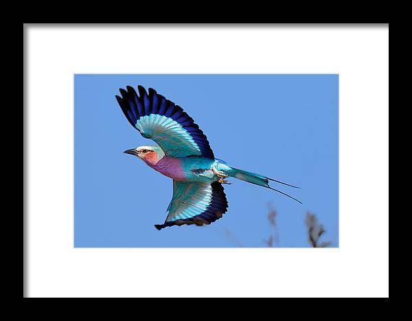 Lilac-breasted Framed Print featuring the photograph Lilac-breasted Roller In Flight by Johan Swanepoel