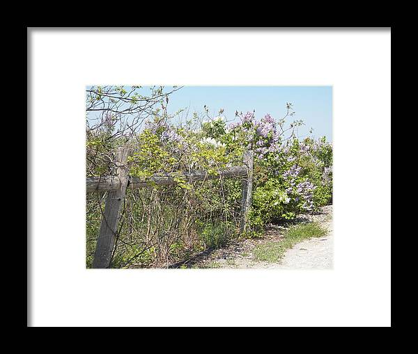 Lilacs Framed Print featuring the photograph Lilac Fence II by Corinne Elizabeth Cowherd
