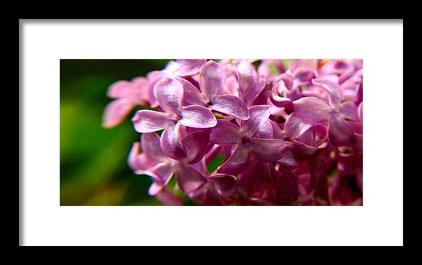 Lavender Lilac Framed Print featuring the photograph Lilac by Patricia Trudell