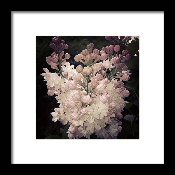 Lilac Framed Print featuring the photograph Lilacs Are Blooming by Christy Beckwith
