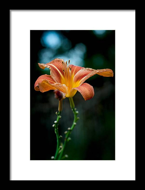 Flower Framed Print featuring the photograph Lilly by Antonela Stanciulescu