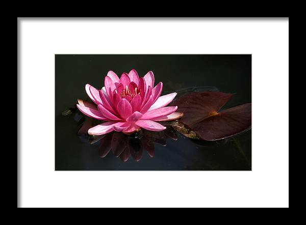 Water Lilies Framed Print featuring the photograph Lily And Pad by Sandee Horan
