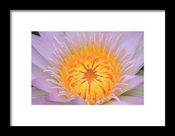 Water Lily Framed Print featuring the photograph Lily by Kevin Devine