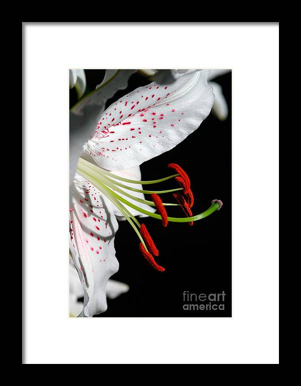 Lily Framed Print featuring the photograph Lily by Lynne Sutherland