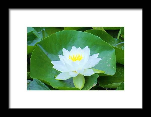 Flower Framed Print featuring the photograph Lily On Its Pad by Jeanette Oberholtzer