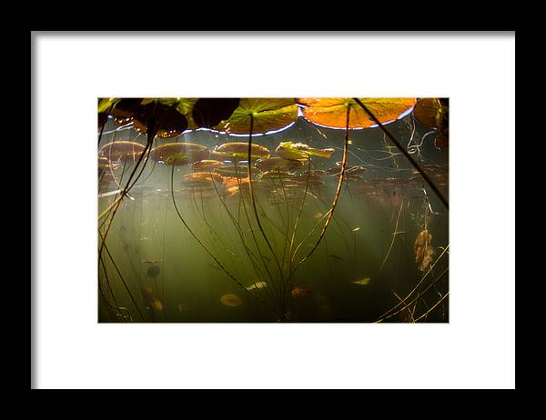 Tranquility Framed Print featuring the photograph Lily Pads Underwater by Velvetfish