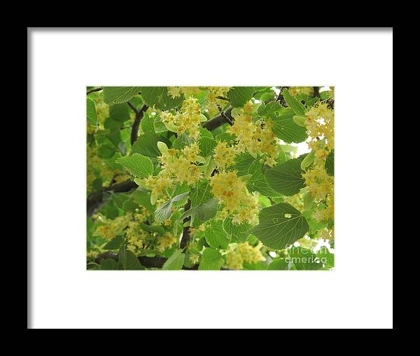 Lime Framed Print featuring the photograph Lime Trees In Bloom by Seija Talolahti