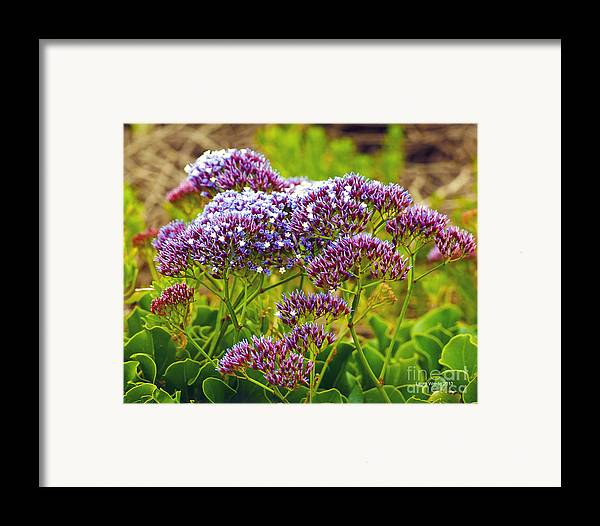 Limonium Framed Print featuring the photograph Limonium - Statice by Artist and Photographer Laura Wrede