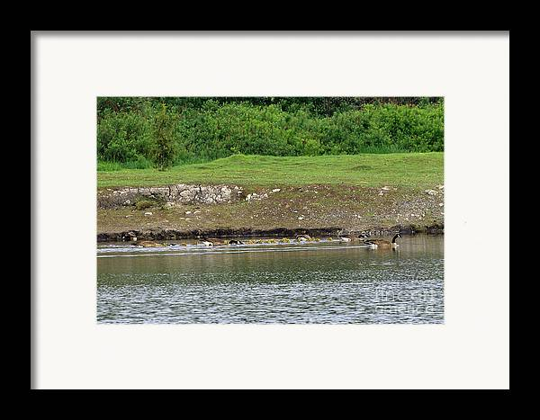 Canada Geese Framed Print featuring the photograph Line Dance by Sharon Talson