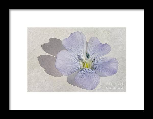 Linum Usitatissimum Framed Print featuring the painting Linen Watercolour by John Edwards