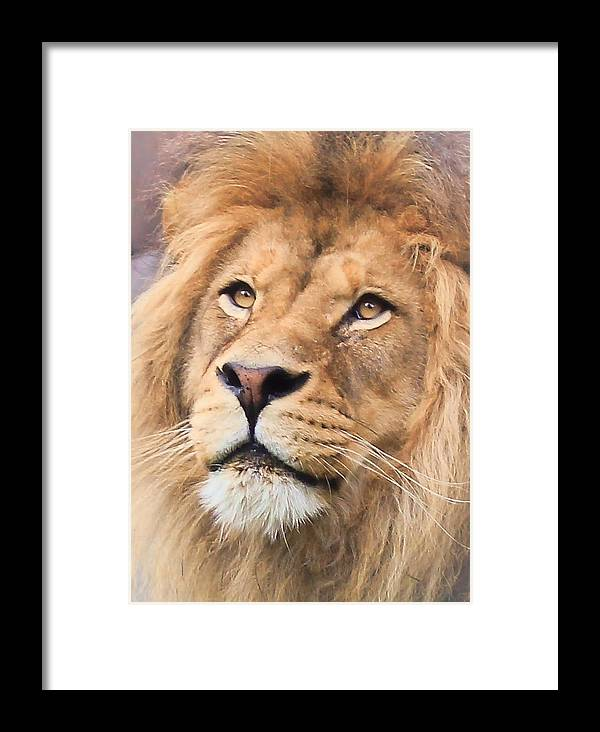 Lion Framed Print featuring the photograph Lion In Deep Thought by Athena Mckinzie