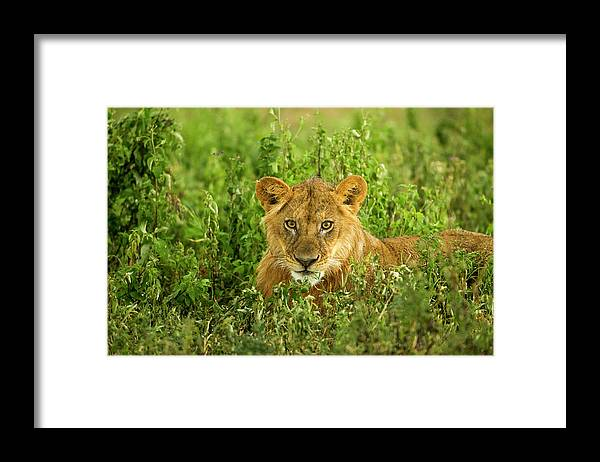 Grass Framed Print featuring the photograph Lion, Ngorongoro Conservation Area by Paul Souders
