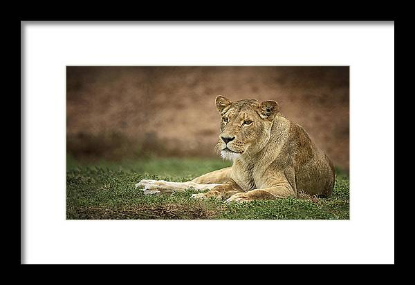 Lions Framed Print featuring the photograph Lioness by Kim Andelkovic