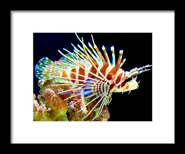 Lionfish Framed Print featuring the photograph Lionfish 1 by Dawn Eshelman