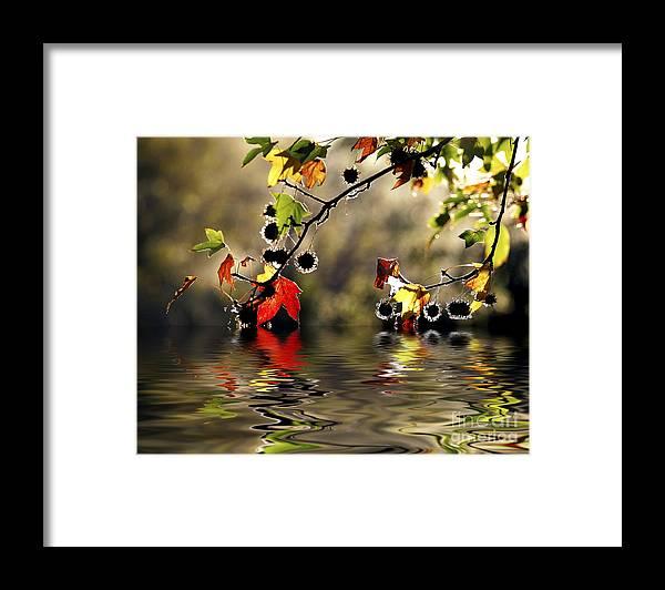 Liquidambar Maple Autumn Fall Flood Water Reflection Framed Print featuring the photograph Liquidambar in flood by Sheila Smart Fine Art Photography