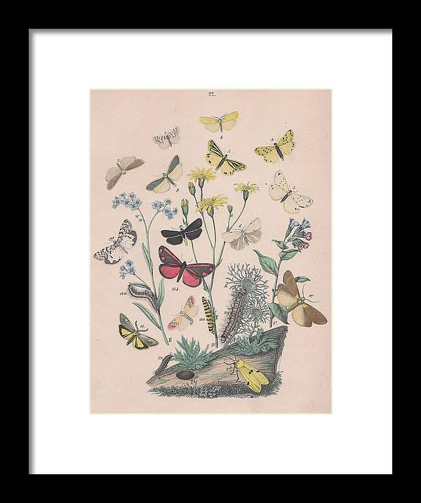 Butterfly Framed Print featuring the drawing Lithosidae - Arctiidae by W Kirby