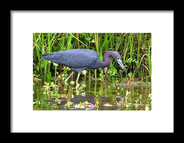 Little Blue Heron Framed Print featuring the photograph Little Blue Heron by Frank Townsley