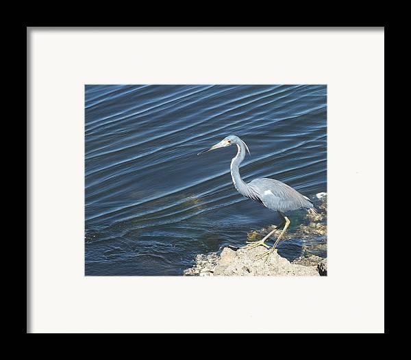 Heron Framed Print featuring the photograph Little Blue Heron II by Anna Villarreal Garbis