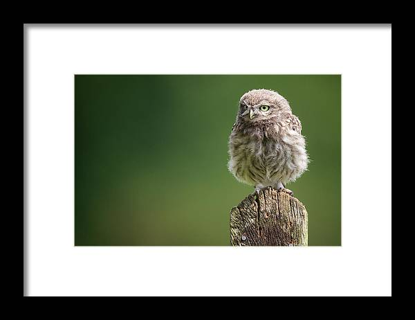 Owlet Framed Print featuring the photograph Little Fuzzy by Markbridger