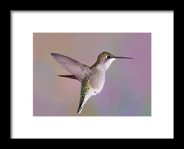Ruby-throated Hummingbird Framed Print featuring the photograph Little One by Leda Robertson