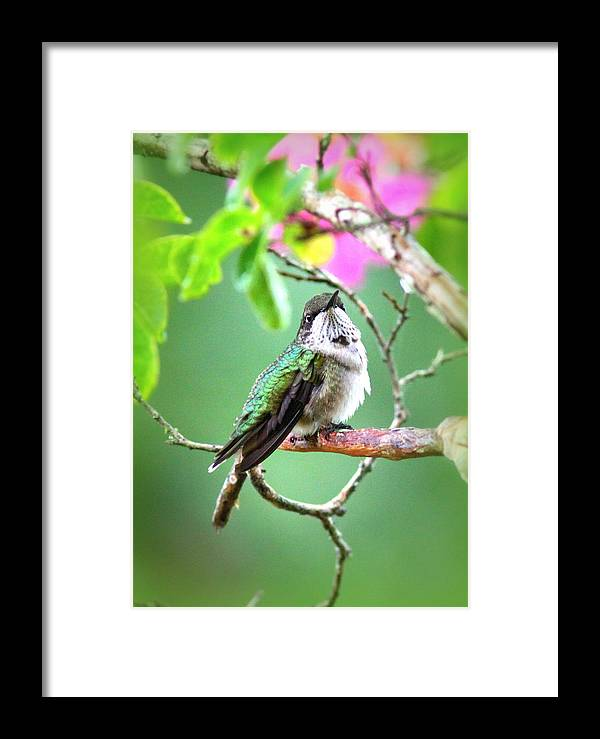 Ruby-throated Hummingbird Framed Print featuring the photograph Little Ruby - 6763-001 by Travis Truelove