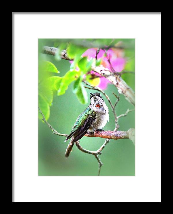 Ruby-throated Hummingbird Framed Print featuring the photograph Little Ruby - 5x7 Card by Travis Truelove