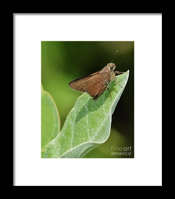 Butterflies Framed Print featuring the photograph Little Skipper by Dane Stensen
