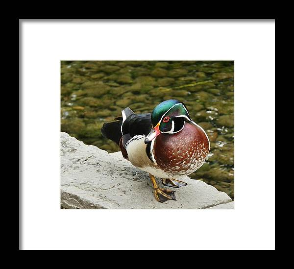 Wood Duck Framed Print featuring the photograph Live Pond Ornament by VLee Watson