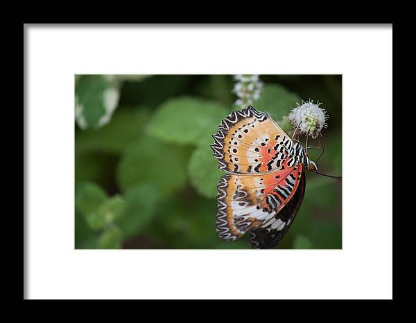 Butterfly Framed Print featuring the photograph Living Color by Ronald Lake