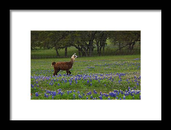 Framed Print featuring the photograph Llama In Bluebonnets by Susan Rovira