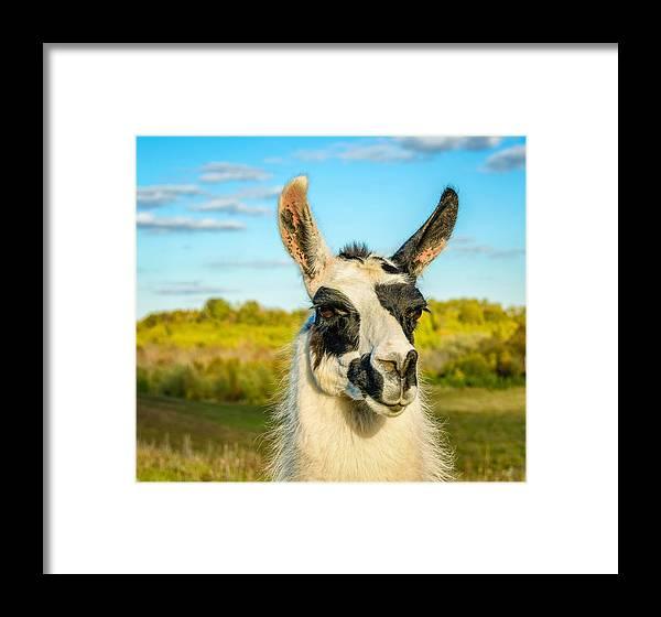 Steve Harrington Framed Print featuring the photograph Llama Portrait by Steve Harrington