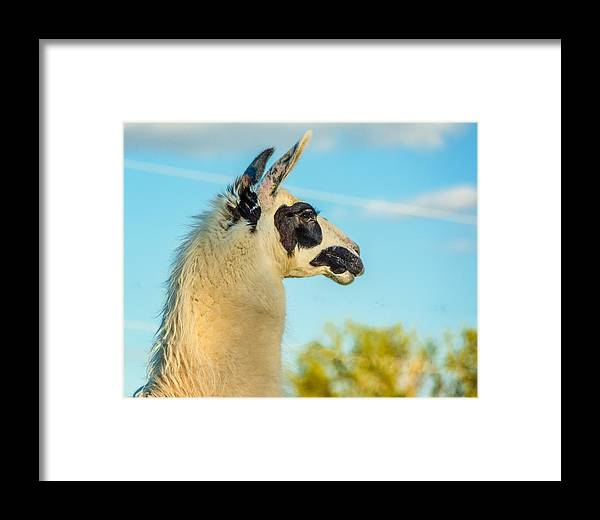 Steve Harrington Framed Print featuring the photograph Llama Profile by Steve Harrington