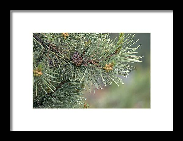 Pine Framed Print featuring the photograph Lodge Pole Pine in the Fog by Frank Madia