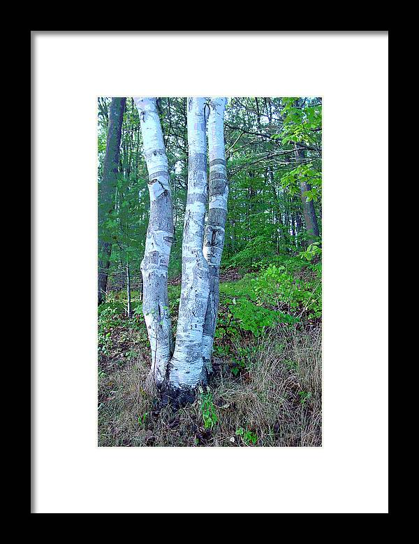 Birch Tree Framed Print featuring the photograph Lone Birch in the Maine Woods by Suzanne Gaff
