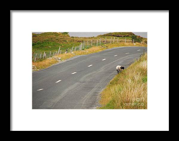 Sheep Framed Print featuring the photograph Lone Sheep by Mary Carol Story