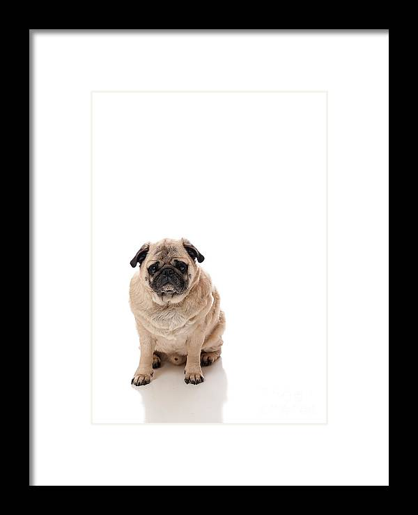Portrait Framed Print featuring the photograph Lonely Sitting Pug by Robert Pavich