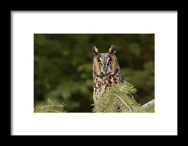 Adam Jones Framed Print featuring the photograph Long-eared Owl, Asio Otus (captive by Adam Jones