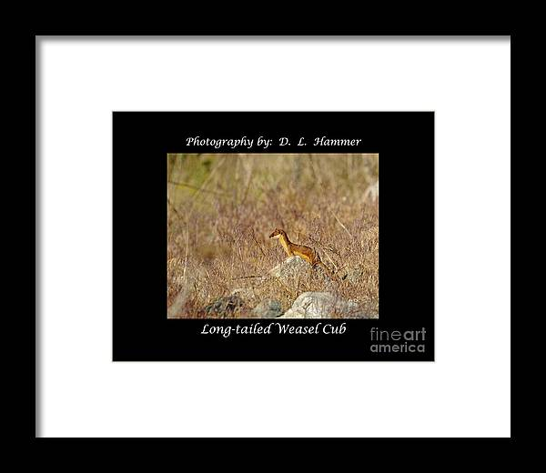 Wildlife Framed Print featuring the photograph Long-tailed Weasel Cub by Dennis Hammer