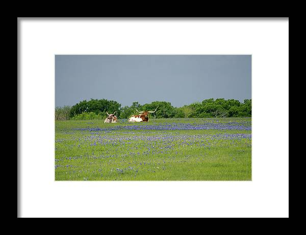 Horned Framed Print featuring the photograph Longhorns And Bluebonnets by Linda Trine
