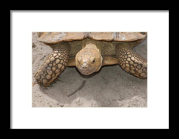 Turtle Framed Print featuring the photograph Look Out Here I Come by Aimee L Maher ALM GALLERY