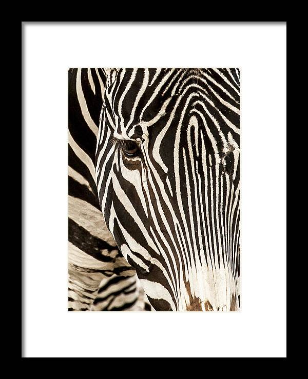 Zebra Framed Print featuring the photograph Looking At You Kid by Barbara Northrup