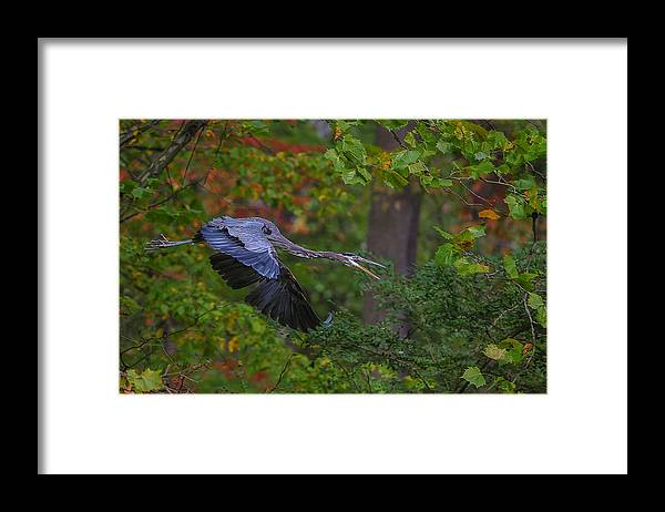 Blue Heron Framed Print featuring the photograph Looking For Lunch by Torrey McNeal