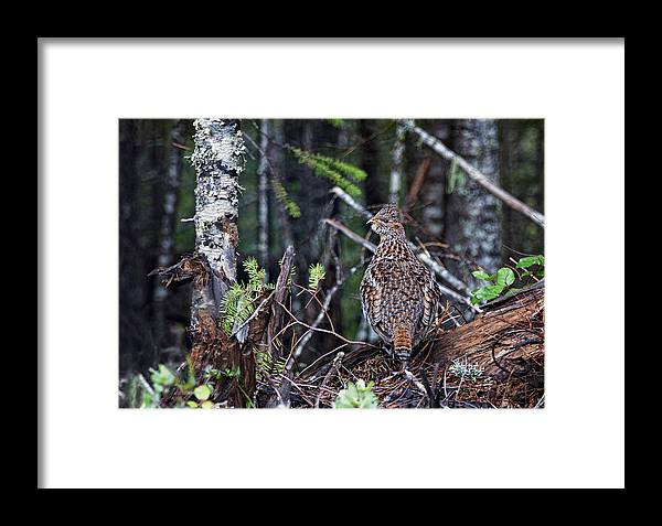 Ruffed Grouse Framed Print featuring the photograph Lookout by Betty Depee