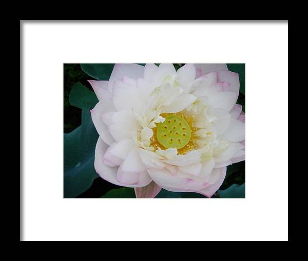 Lotus Framed Print featuring the photograph Lotus Blooming by Doveen Schecter