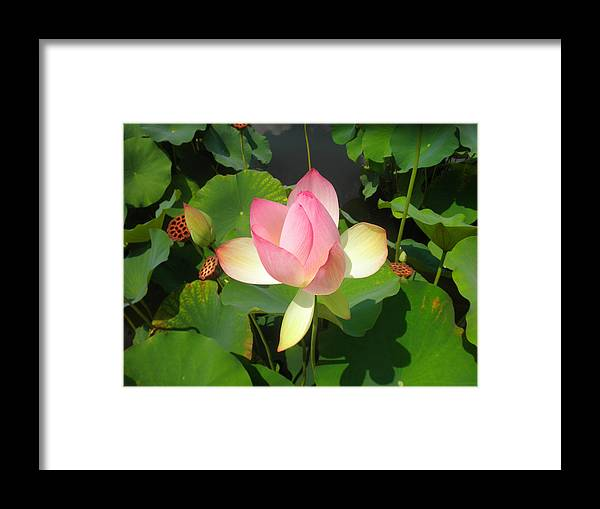 Lotus Framed Print featuring the photograph Lotus I by David Klaboe