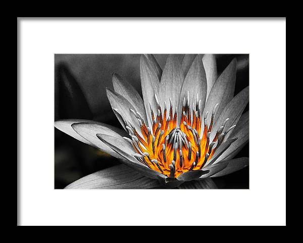 Lotus Framed Print featuring the photograph Lotus On Fire by Lyle Barker